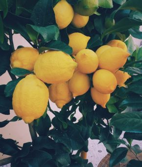 Limun s Visa ekološki domaći