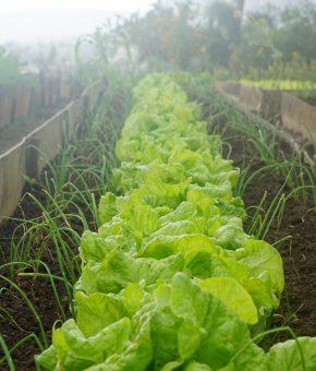 Salata domaća